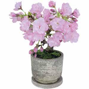 テーブル盆栽「旭山桜」 (お届け期間:12/19〜12/31) 【冬ギフト・お歳暮】