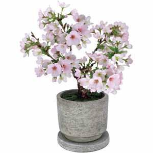 フローラル・プロダクツ テーブル盆栽「御殿場桜」 (お届け期間:12/19〜12/31) 【冬ギフト・お歳暮】