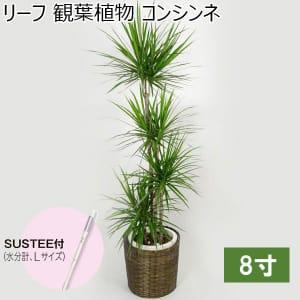 リーフ 観葉植物 コンシンネ8寸(SUSTEE付き)【年間ギフト】