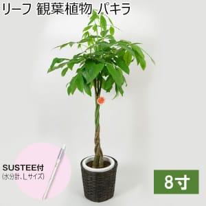 リーフ 観葉植物 パキラ8寸(SUSTEE付き)【年間ギフト】