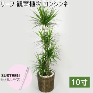 リーフ 観葉植物 コンシンネ10寸(SUSTEE付き)【年間ギフト】