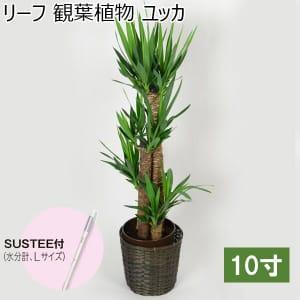 リーフ 観葉植物 ユッカ10寸(SUSTEE付き)【年間ギフト】