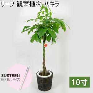 リーフ 観葉植物 パキラ10寸(SUSTEE付き)【年間ギフト】