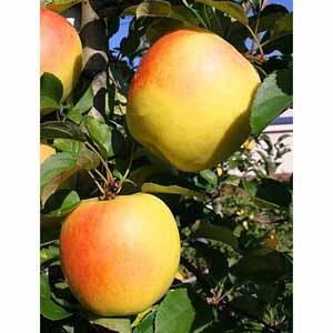 青森県産 名月りんご(18〜20個、計5kg以上) 【イオンカード会員限定】